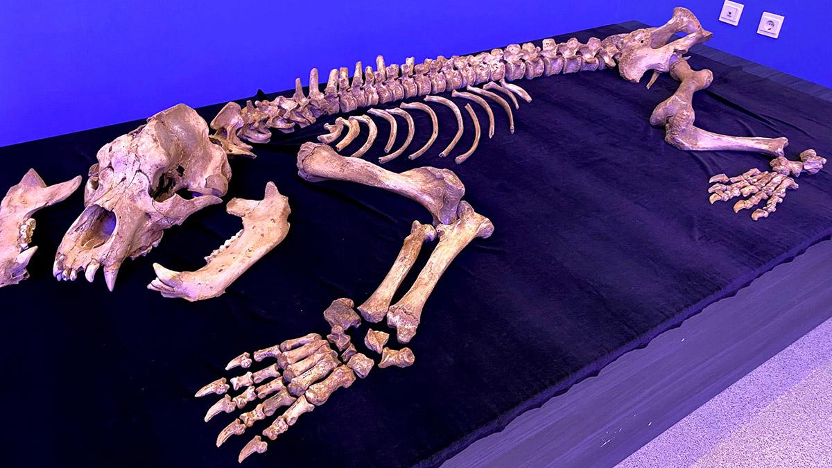 Esqueleto de oso de las cavernas encontrado en la cueva de Amutxate (Sierra de Aralar). GOBIERNO DE NAVARRA