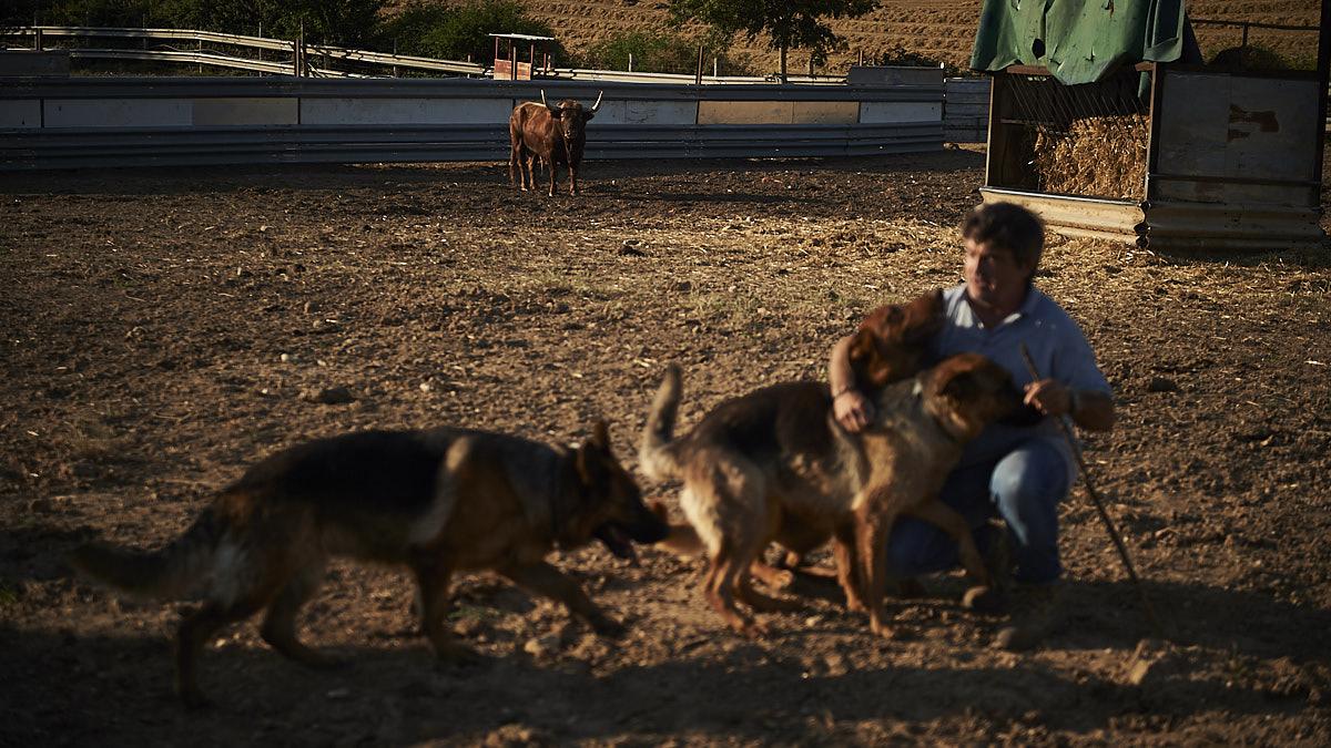 Miguel Reta juega junto a sus inseparables perros en la Ganadería Reta de Casta Navarra. Al fondo, otro de los toros que podría viajar a Francia.